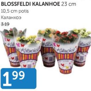 Allahindlus - Blossfeldi kalanhoe