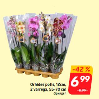 Allahindlus - Orhidee potis, 12cm,  2 varrega, 55-70 cm